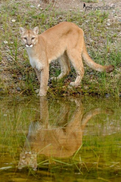 Cougar's reflection in a pond photographed by Jeff Wendorff