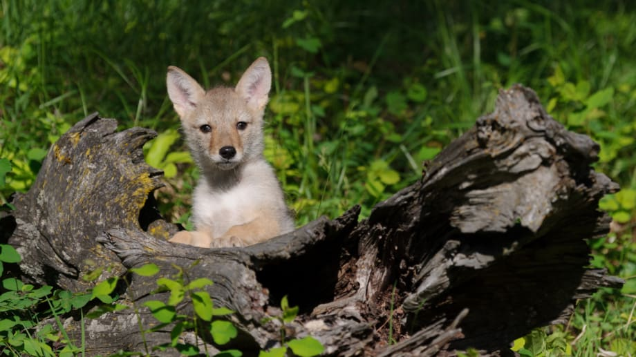 Coyote pup looking over a log photographed by Jeff Wendorff