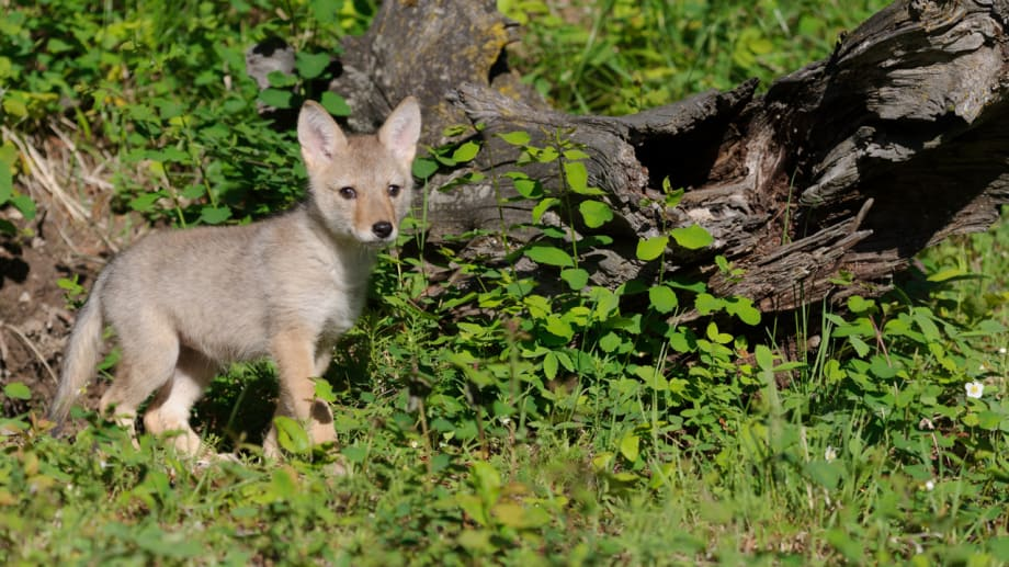 Coyote Pup in the forest photographed by Jeff Wendorff