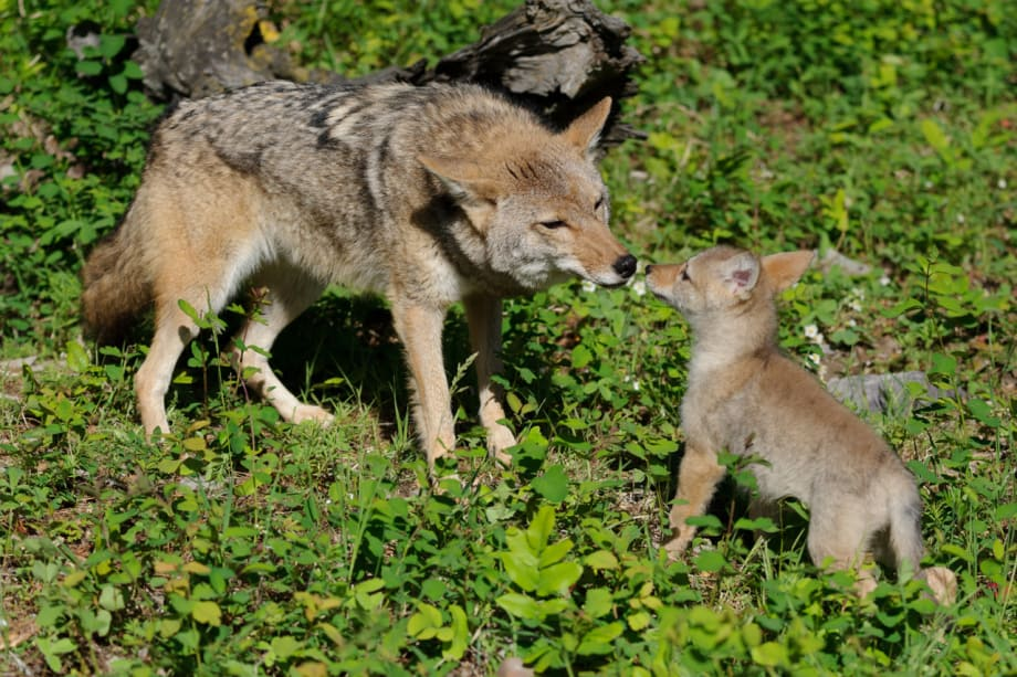 Coyote pup interaction with adult photographed by Jeff Wendorff