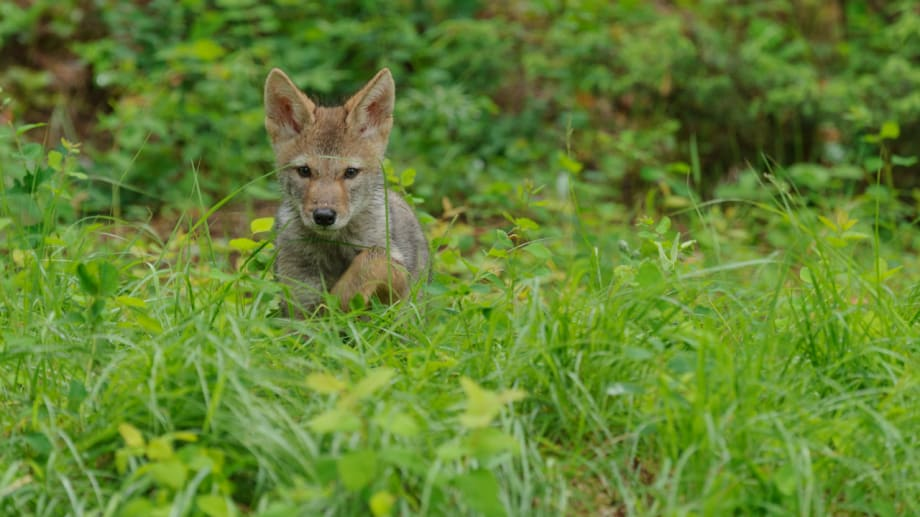 Coyote pup in tall grass photographed by Jeff Wendorff