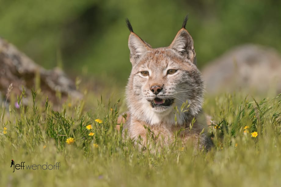 Eurasian Lynx in wildflowers photographed by Jeff Wendorff