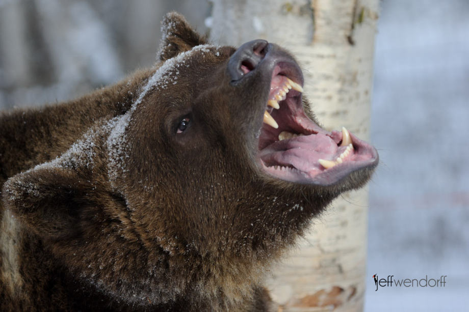 Closeup photo of a Grizzly Bear with jaws open photographed by Jeff Wendorff
