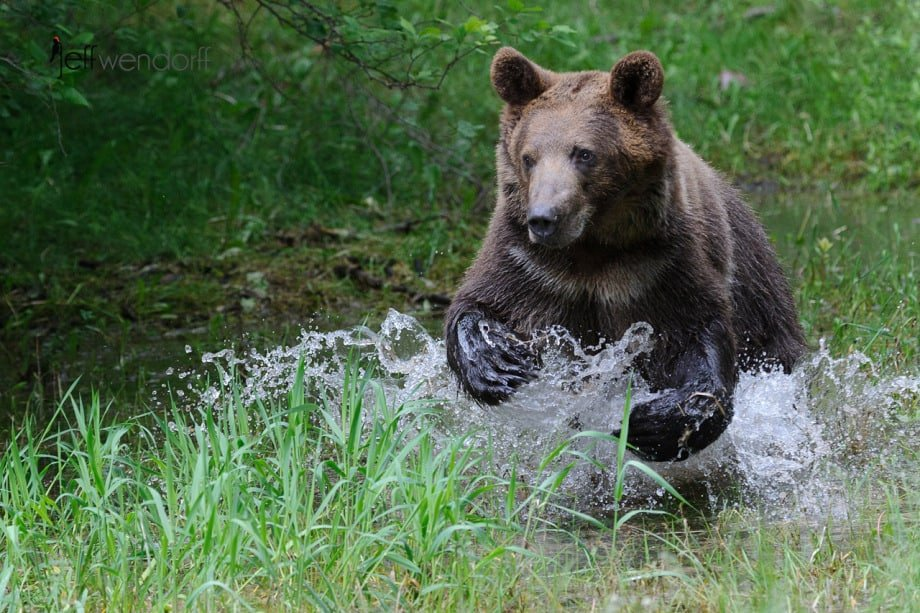 Grizzly Bear running in the creek photographed by Jeff Wendorff
