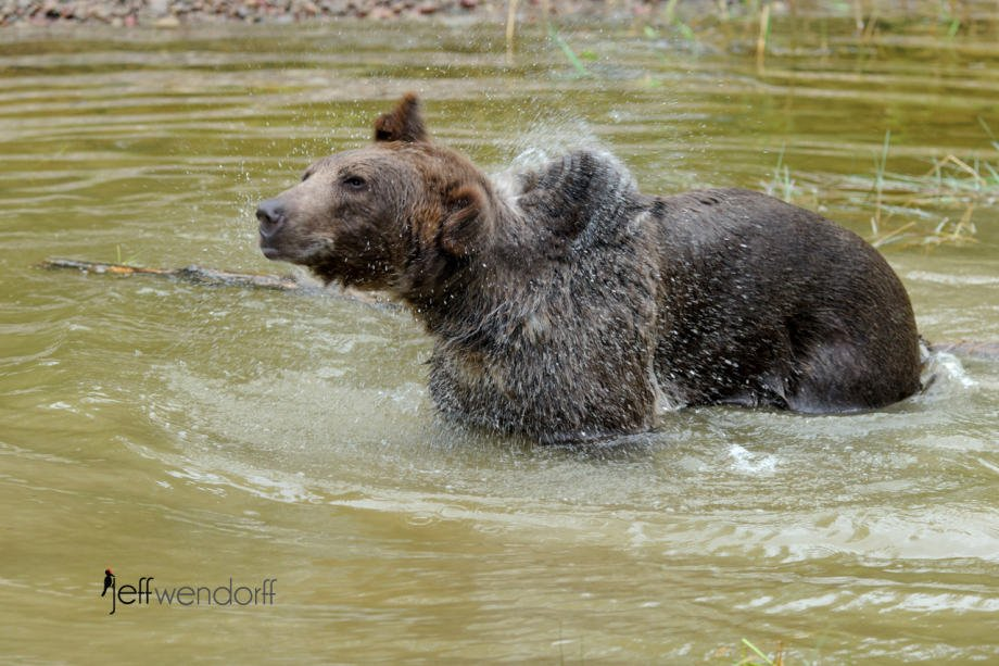 Grizzly Bear shaking water out of its fur photographed by Jeff Wendorff