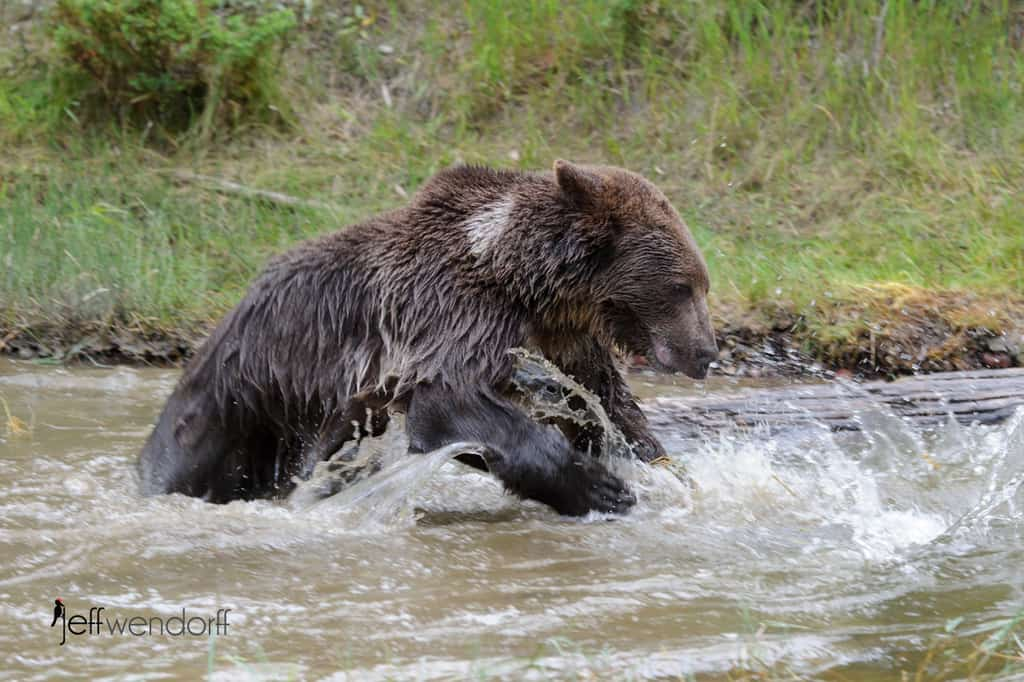 Grizzly Bear fishing photographed by Jeff Wendorff