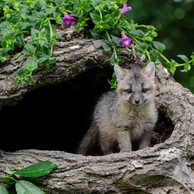 Grey Fox Photos