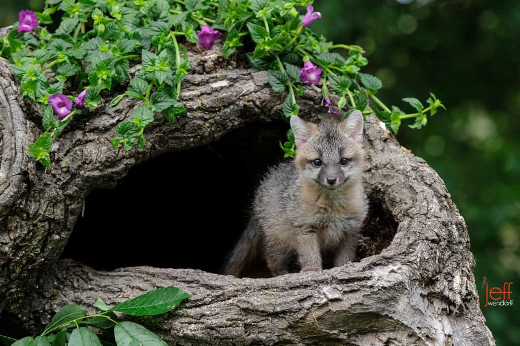 Grey Fox kit in a hollow log photographed by Jeff Wendorff