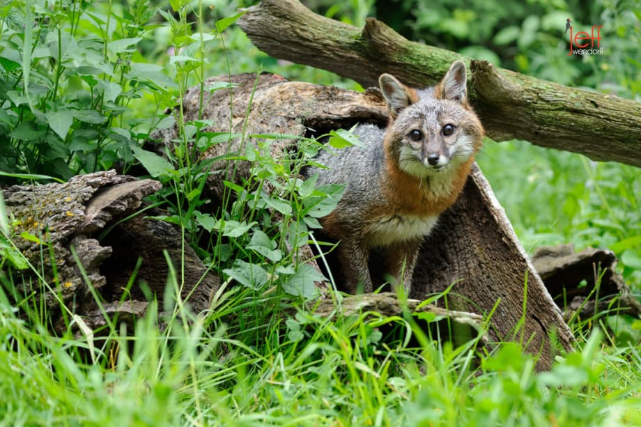 Adult Grey Fox in a hollow log photographed by Jeff Wendorff