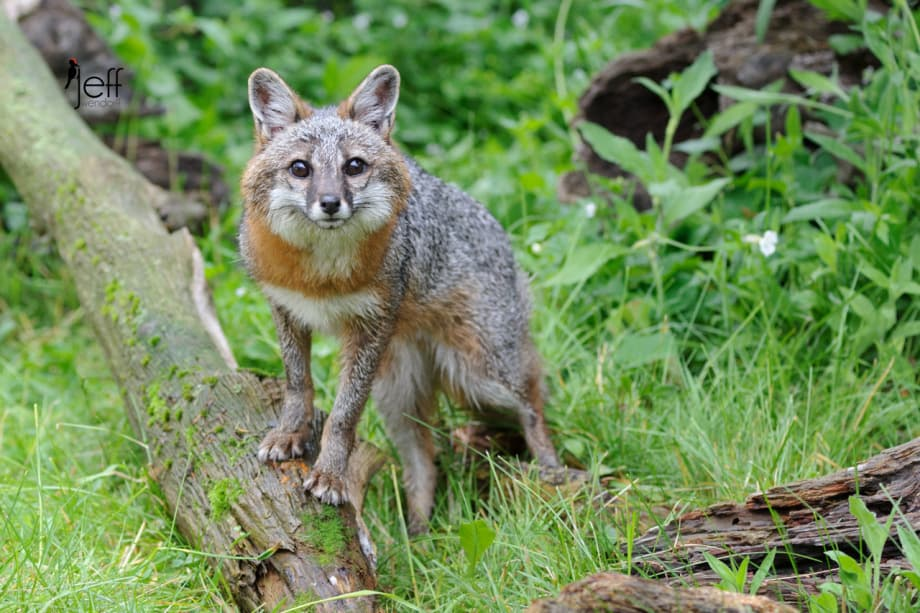 Adult Grey Fox looking at the photographer photographed by Jeff Wendorff
