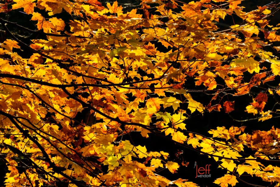 Glowing Leaves - Vermont photographed by Jeff Wendorff