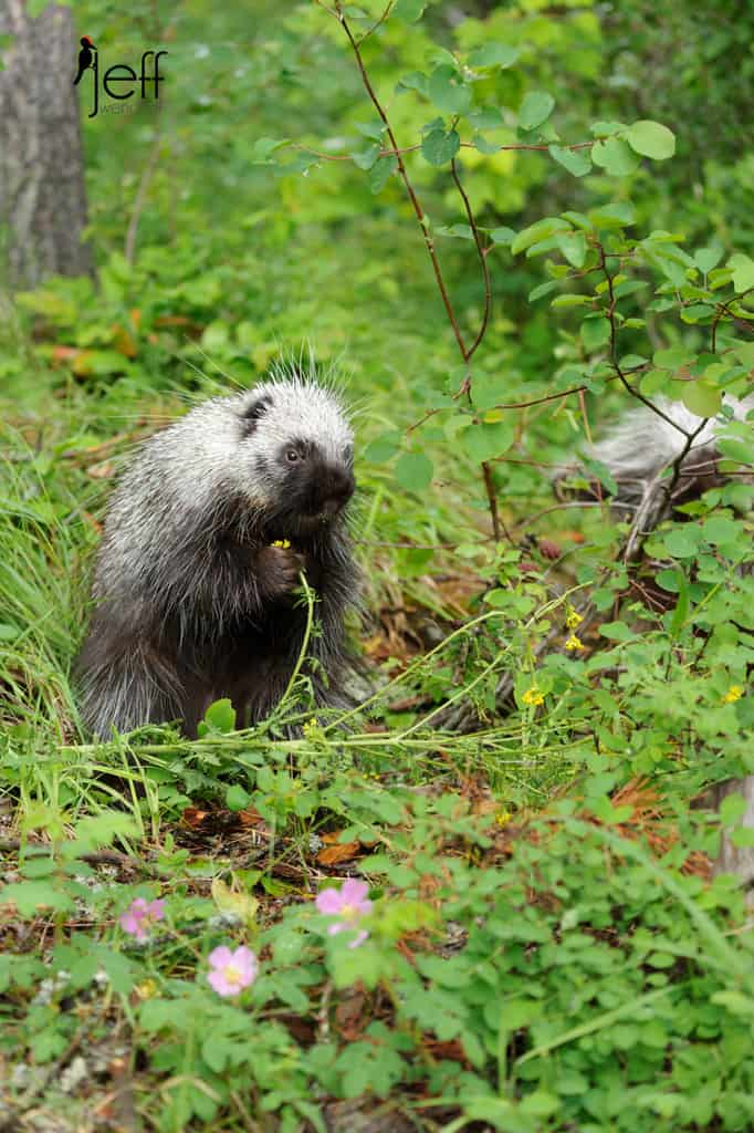 Porcupine eating a yellow flower photographed by Jeff Wendorff