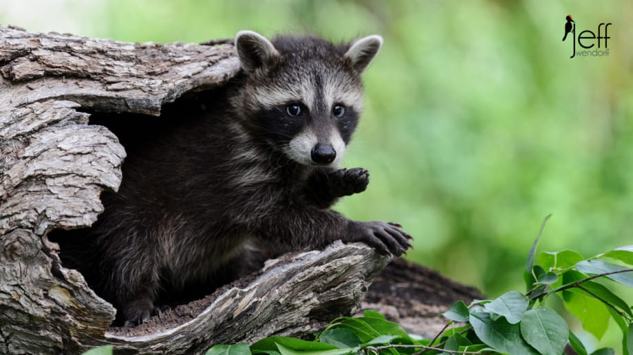 Young Raccoon in a hollow log photographed by JeffWendorff