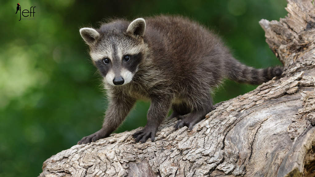 Baby Raccoon on a log photographed by Jeff Wendorff