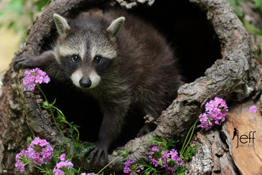 Young raccoon in a hollow log with wildlflowers photographed by Jeff Wendorff