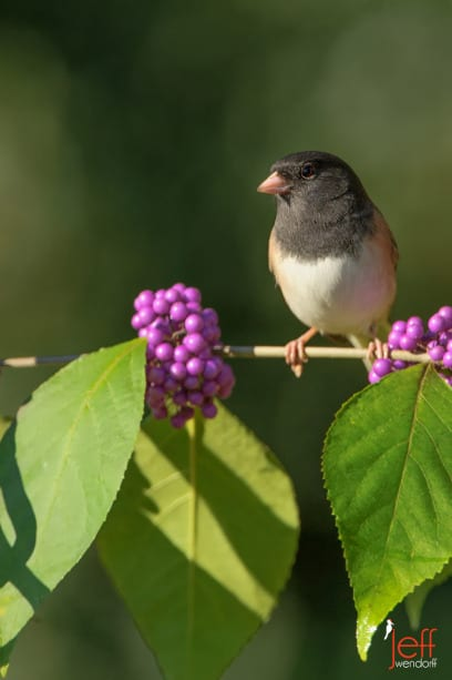 Dark-eyed Junco on an American Beautyberry perch photographed by Jeff Wendorff