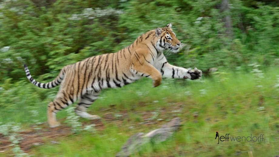 Tiger Pan Blur for motion effect by Jeff Wendorff