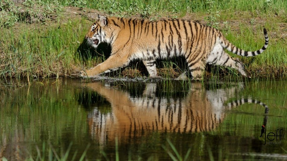Tiger walking along the water with reflection by Jeff Wendorff