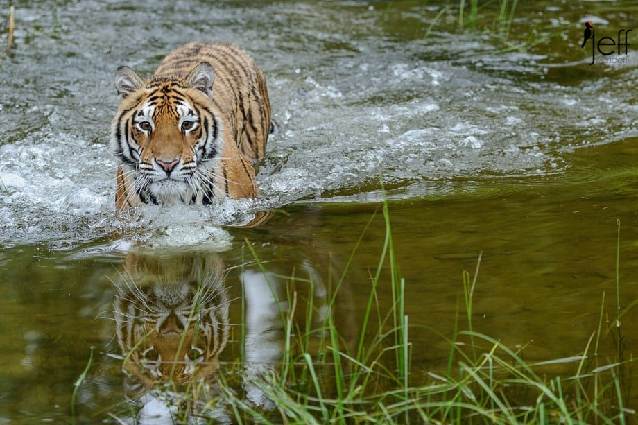 Tiger wading towards the photographer by Jeff Wendorff