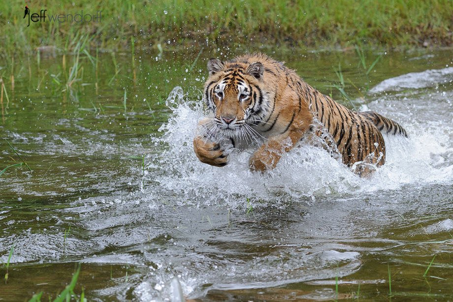 Tiger playing in the water photographed by Jeff Wendorff