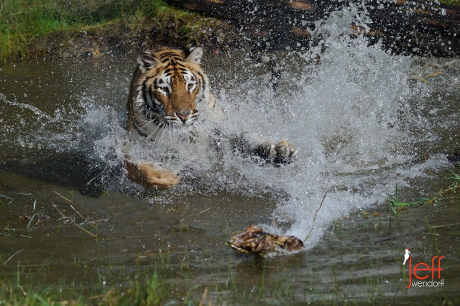 Tiger mock attack on a toy with a big splash in the water photographed by Jeff Wendorff