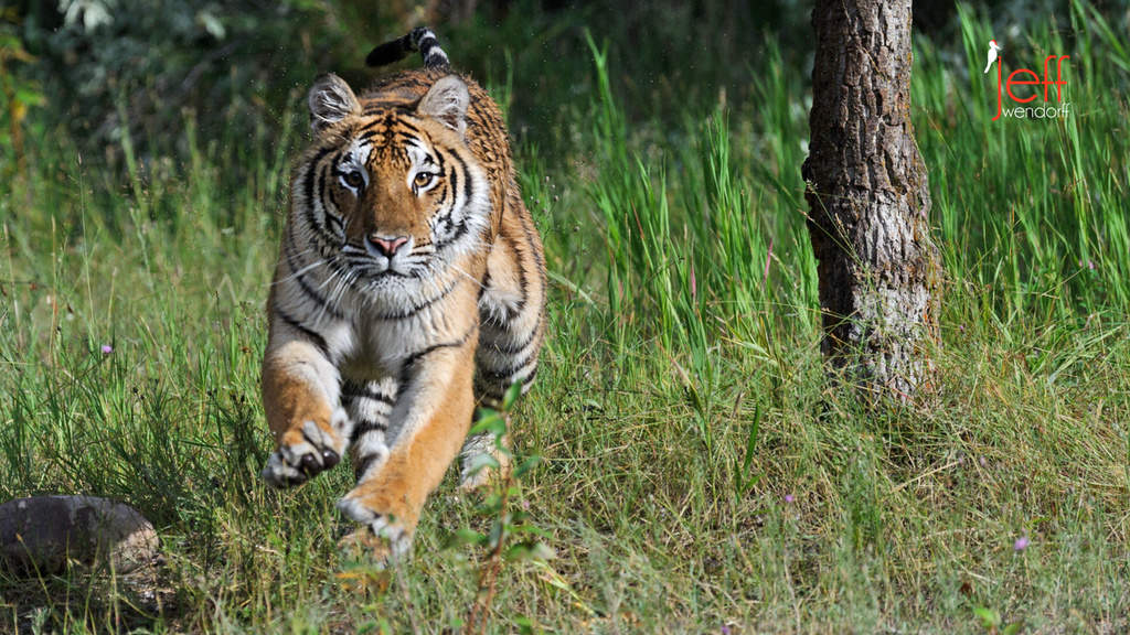 Tiger running towards the photographer Jeff Wendorff