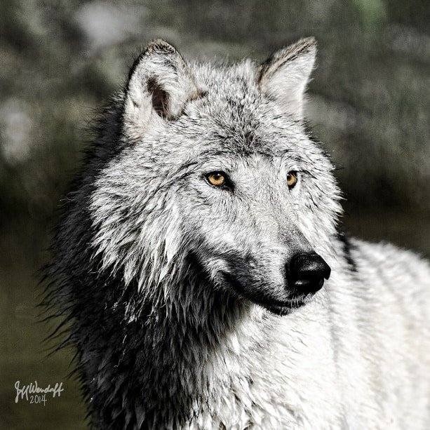 a digital painting of a tundra wolf with piercing yellow eyes created from a photograph by Jeff Wendorff