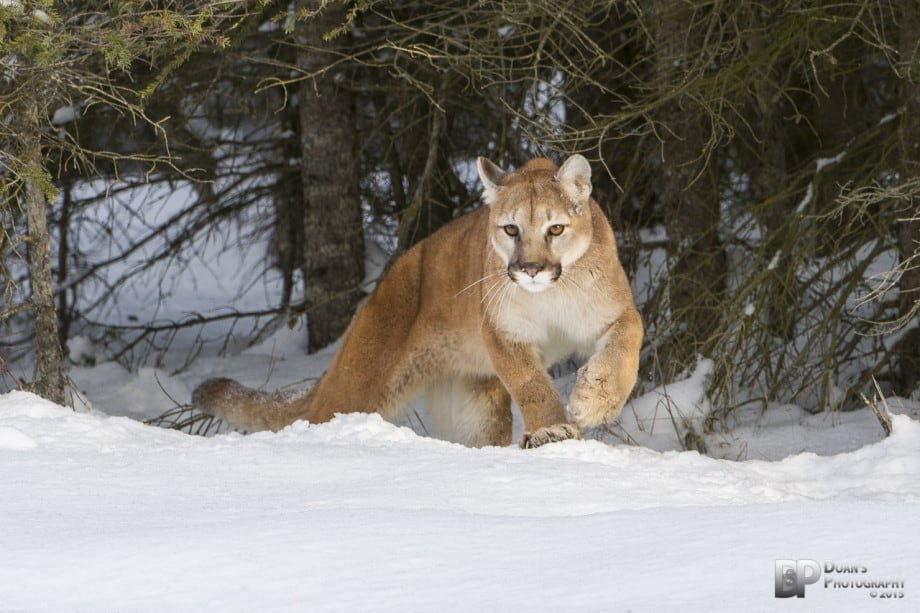 Prowling Mountain Lion - Courtesy Steve Doan