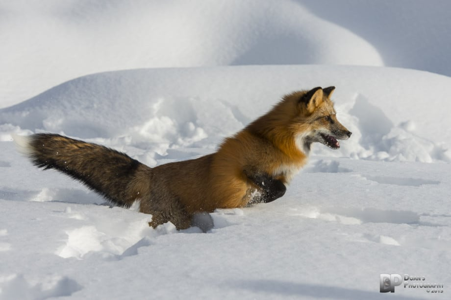 Fox in the snow - courtesy Steve Doan
