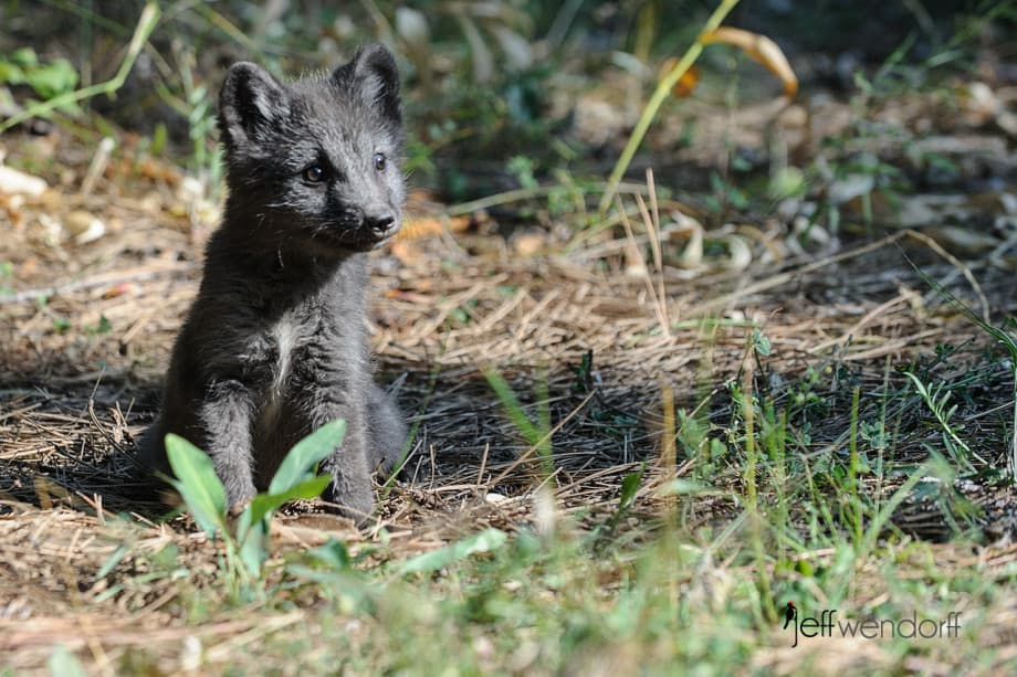 Baby Arctic Fox in it's black coat photographed by Jeff Wendorff