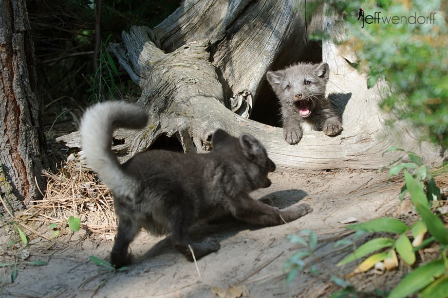 Baby Arctic Foxes playing photographed by Jeff Wendorff