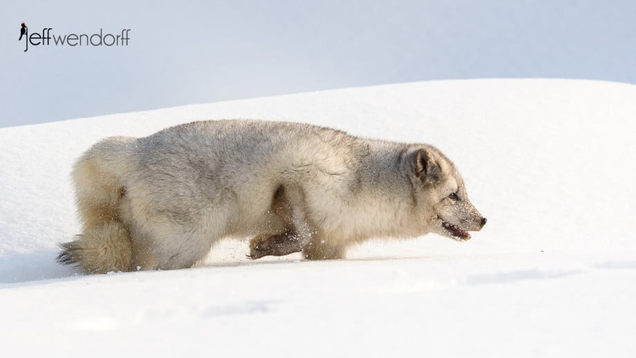 Juvenile Arctic Fox in it's first winter coat photographed by Jeff Wendorff