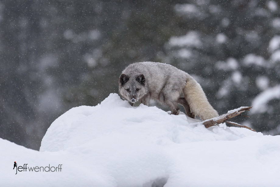 Juvenile Arctic Fox in a snow storm photographed by Jeff Wendorff