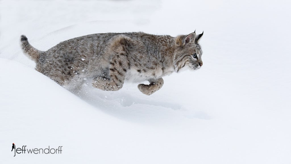 Bobcat – Photography Workshop Images