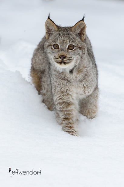 Juvenile Canada Lynx walking in the snow photographed by Jeff Wendorff