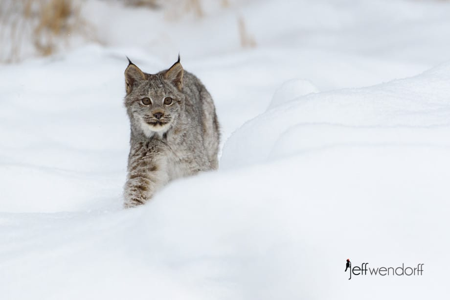 Juvenile Canada Lynx hunting behind a snow bank photographed by Jeff Wendorff