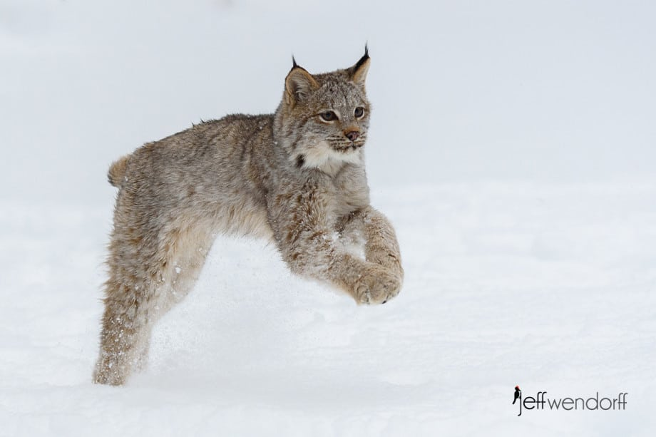 Juvenile Canada Lynx romping in the snow photographed by Jeff Wendorff