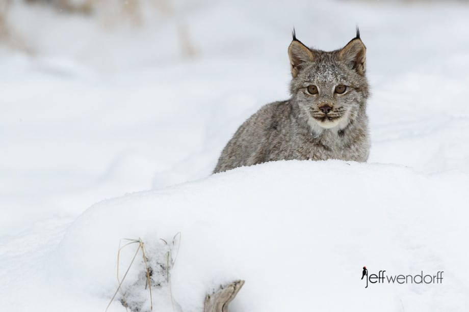 Peek a Boo Canada Lynx looking over a snow bank photographed by Jeff Wendorff