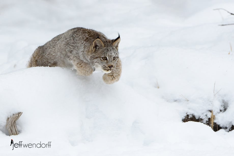 Juvenile Canada Lynx leaping over a snow bank photographed by Jeff Wendorff