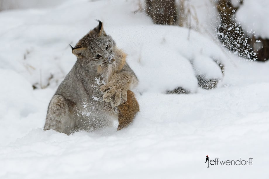 Massive paw on a juvenile Canada Lynx playing with a lure photographed by Jeff Wendorff