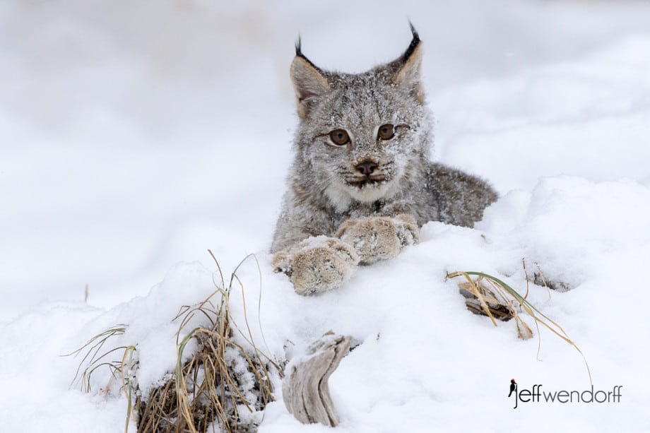 "Juvenile Canada Lynx ""posing"" with it's paws crossed on a log looking at the photographer Jeff Wendorff"
