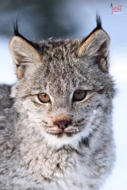 Canada Lynx Portrait photographed by Jeff Wendorff
