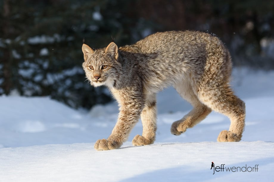 Lanky young Canada Lynx walking in the sunlit snow photographed by Jeff Wendorff