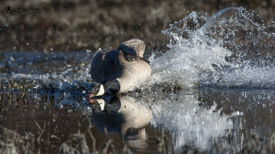Canada Goose heading in for a fight photographed by Jeff Wendorff