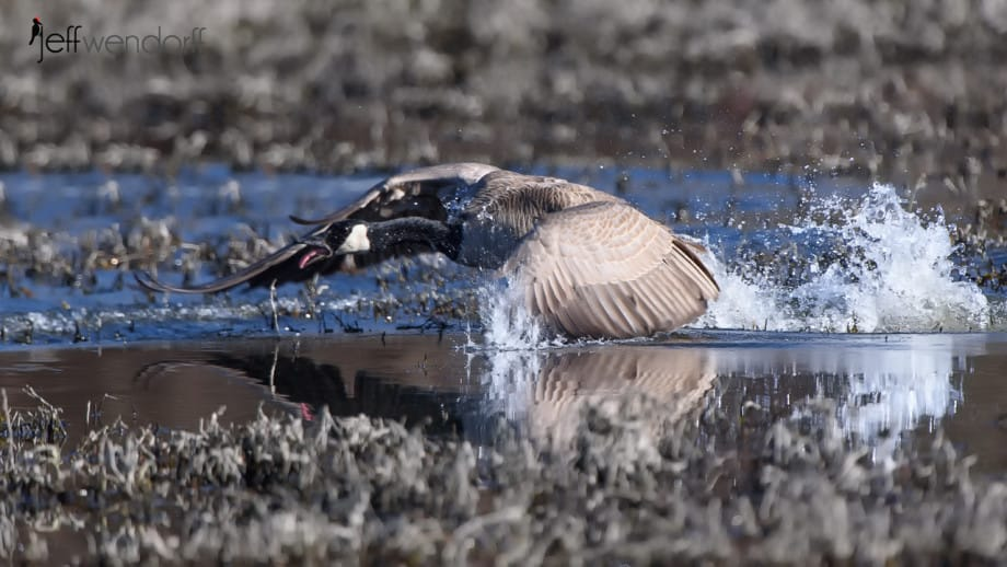Canada Goose getting ready to fly in to action photographed bY Jeff Wendorff