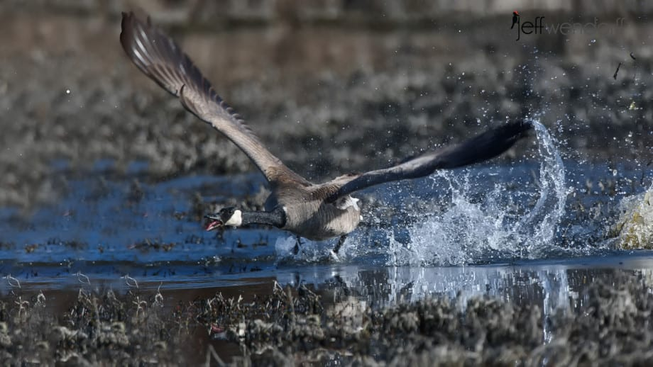 Canada Goose Flying at the other Geese photographed by Jeff Wendorff