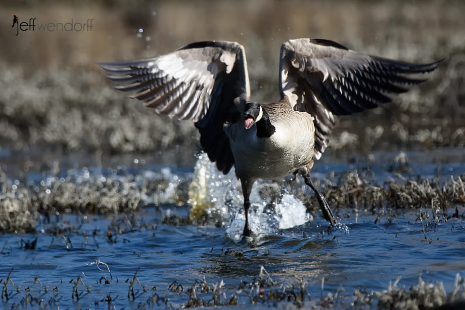 Canada Goose flying and hissing at a  rival photographed by Jeff Wendorff