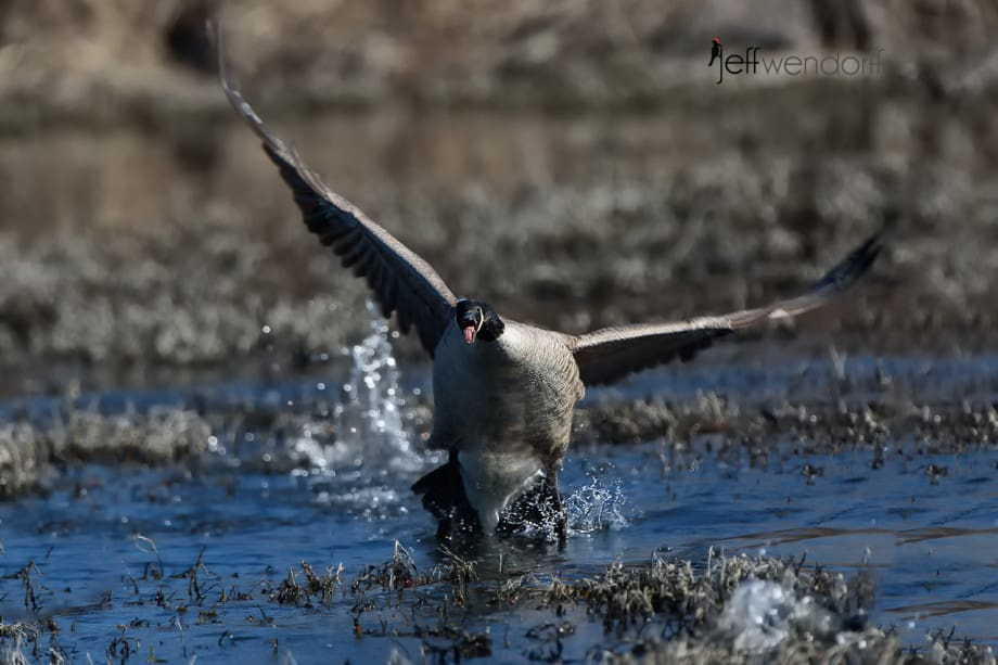 Canada Goose appears to walk on water photographed by Jeff Wendorff