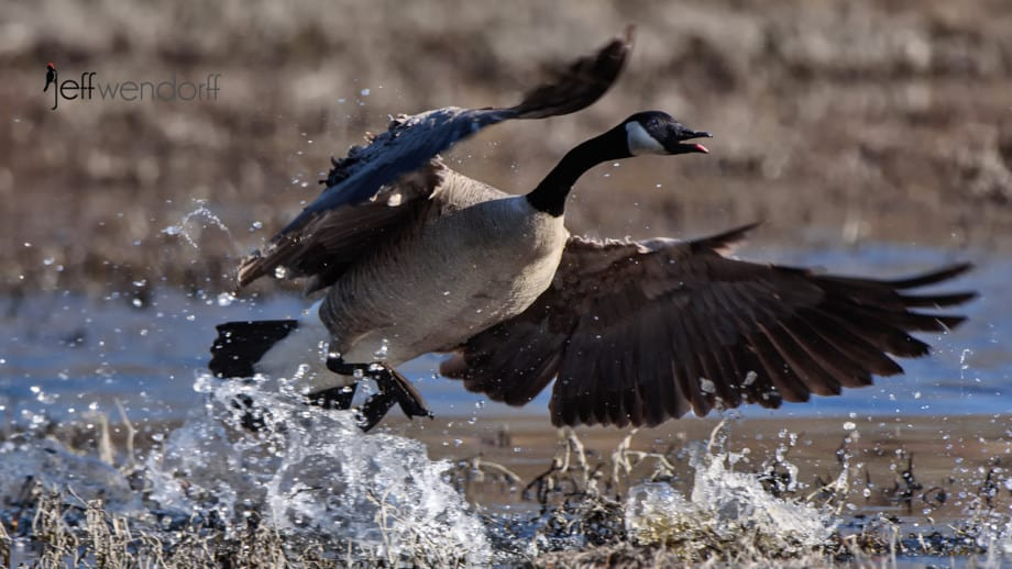 The opposing geese come flying in to chase the others off, photographed BY Jeff Wendorff