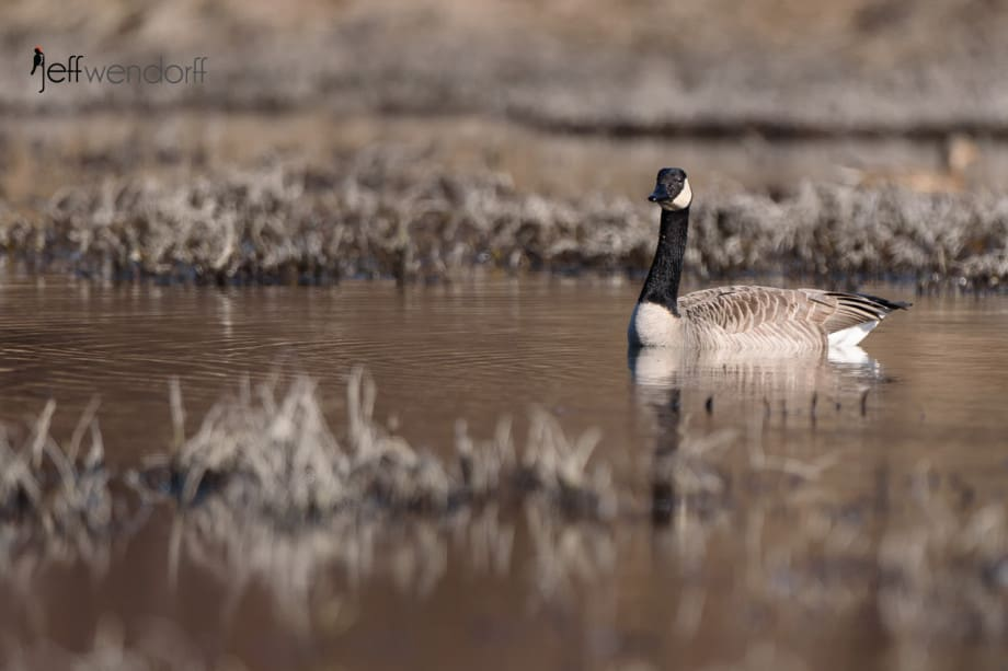 Calm waters and quiet geese after the battle in Dabbler's Marsh photographed by Jeff Wendorff